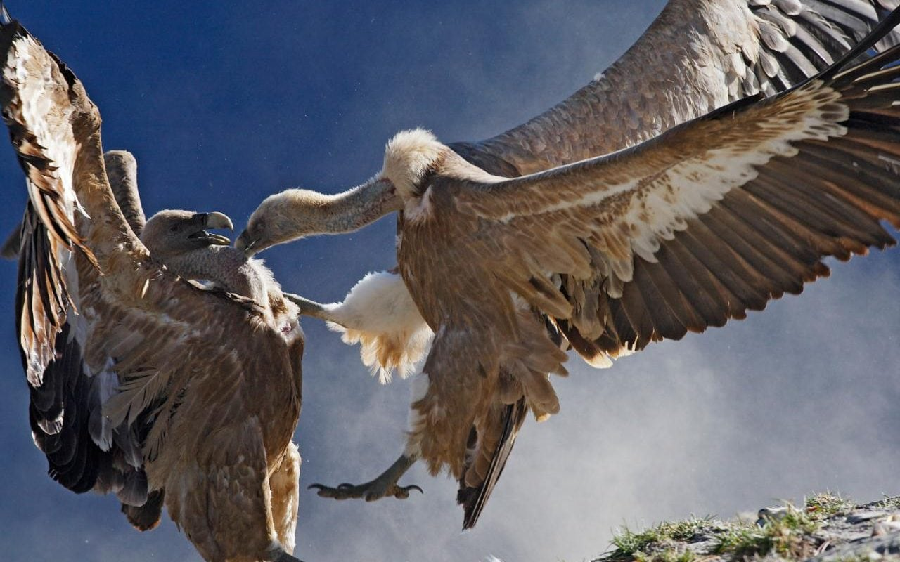 Vultures Return To Italy With A Vengeance After Being