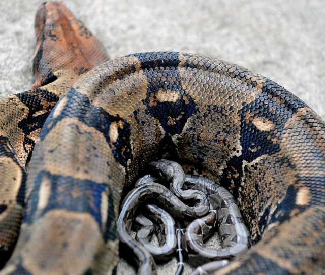 Boa Constrictor On The Loose In Lincolnshire As Police Warn Public Not To Approach The