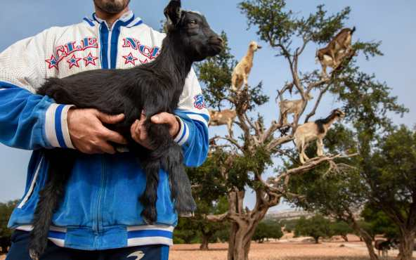opportunistic farmers brought goats in from other areas and forced them into the trees before charging travellers