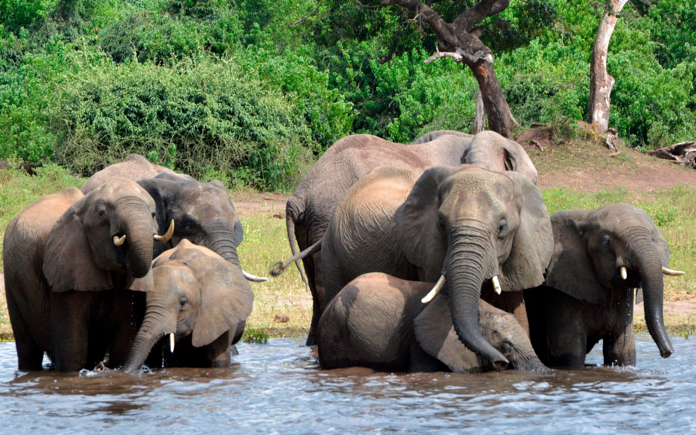Elephants cool off in Botswana's Chobe national park, part of the vast KOZA eco-system that includes southeast Angola