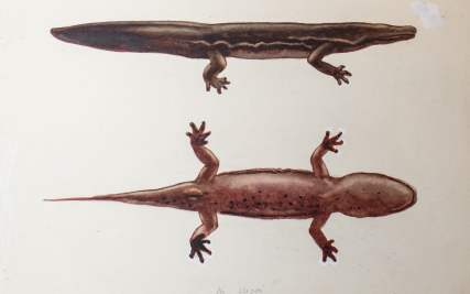 A new species of giant salamander - possibly the largest amphibian in the world - has been identified from a dead specimen that has been on display at the Natural History Museum for 74 years.