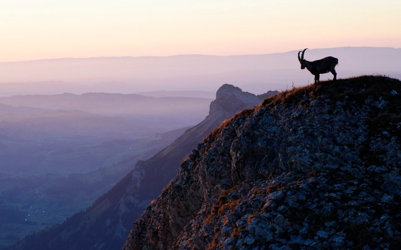 Calls for Swiss ban on foreign 'trophy hunters' shooting the country's iconic ibex