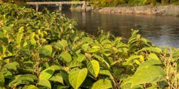 Floods are spreading Japanese Knotweed, warns Wildlife Trust