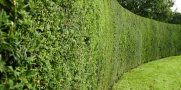 Hedges around parks reduce pollution level by half, study finds