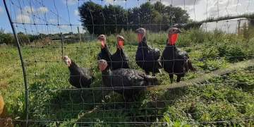 Turkey thieves strike before Christmas as farmers arrive at work to find pens empty
