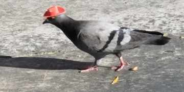 Pigeons in cowboy hats spotted flying around Las Vegas