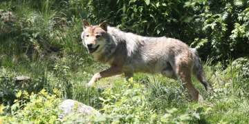 Grey wolf spotted between France's Charente and Dordogne for first time in almost a century