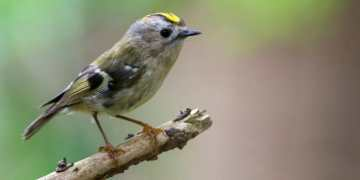 Britain's small birds have been boosted by warmer winter, says RSPB ahead of annual survey