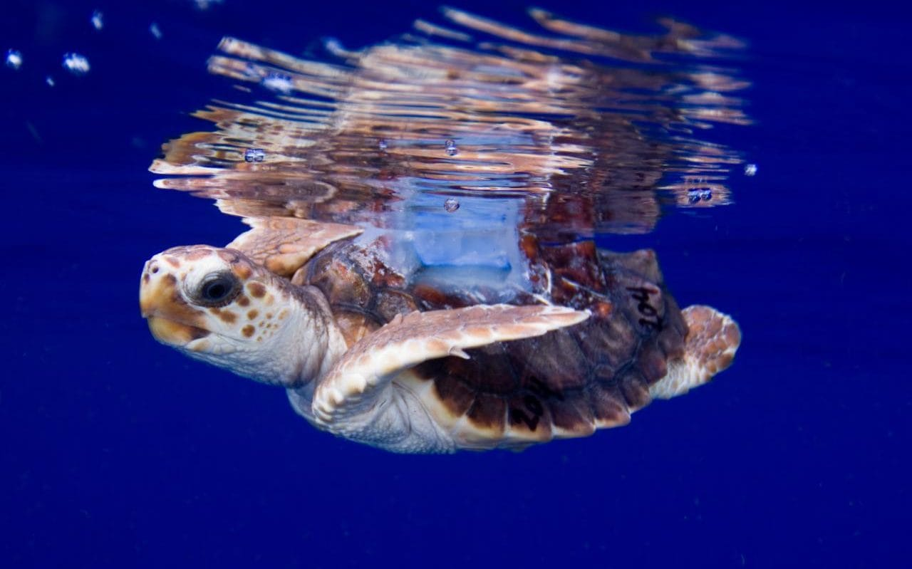 Sea Turtles Rescued From Quot Marine Traffic Quot Jam Ahead Of