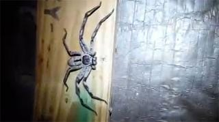 Terrifying moment pest controller in Australia spots huntsman spider