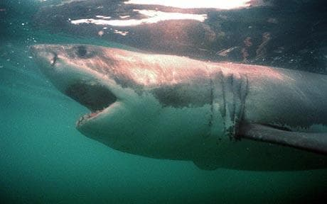 Great white sharks hang out in an underwater 'singles bar' to find a mate