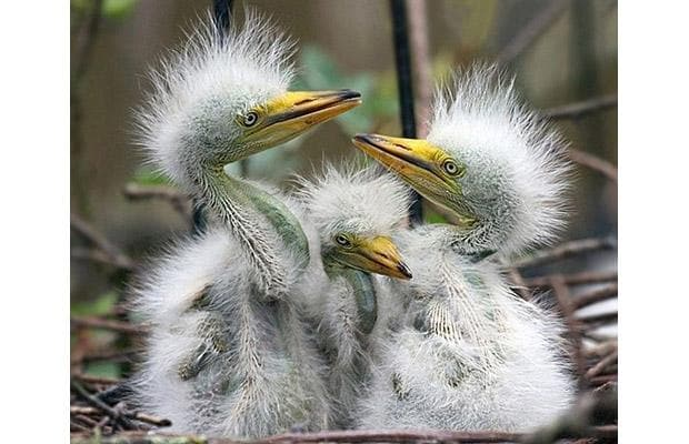 Three newly-hatched little egret chicks are the latest addition to the Wildwood Trust Discovery Park in Kent Picture: INS