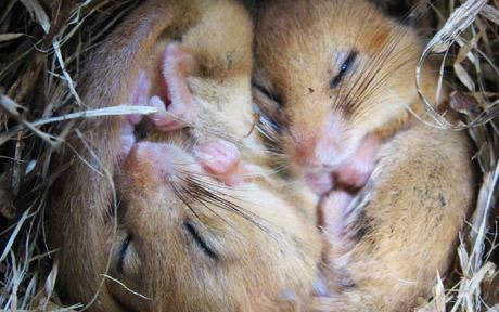 Dormice asleep in the middle of the A30 in Cornwall.  Photo: EPICNEWS.CO.UK