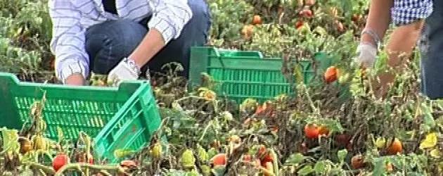 Pomodoro, produzione in calo