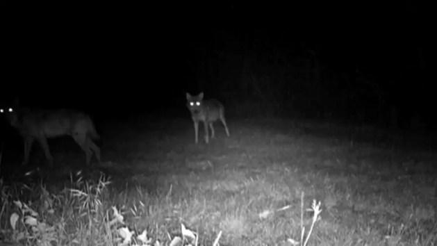 Lupi nella valli di Campotto ad Argenta – VIDEO