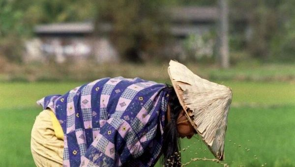 A Lao woman uproots rice seedlings in a paddy field. (Photo: Reuters)
