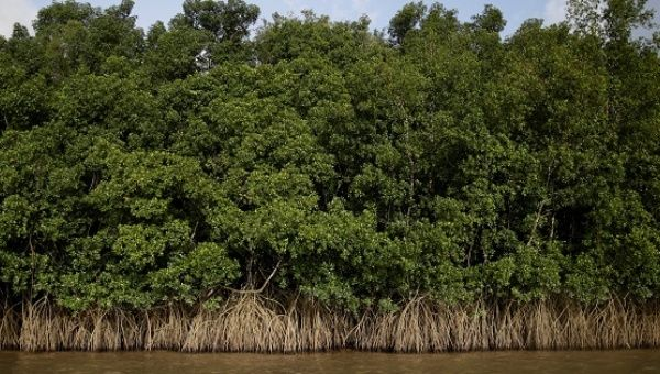Mangroves grow on the banks of Oiapoque River on the coast of Amapa state, near Oiapoque city, northern Brazil, on April 3, 2017.