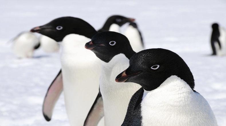 Las características de estas bellezas son: cabeza negra, vientre blanco, manchas blancas al rededor de sus ojos.