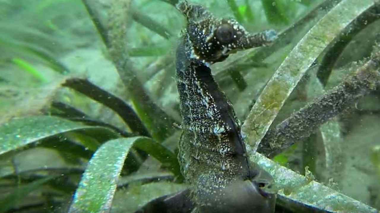 seahorse-birth