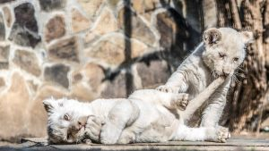 A Nyíregyházi Állatpark fehér oroszlánkölykei