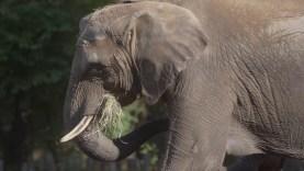Az elefántok elfelejtenek?