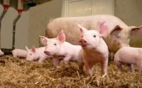 Für Tierwohl sind alle – das Fleisch will aber keiner bezahlen