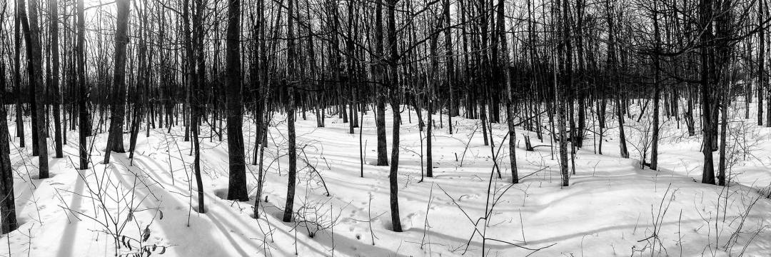 Panorama snow forest b&w