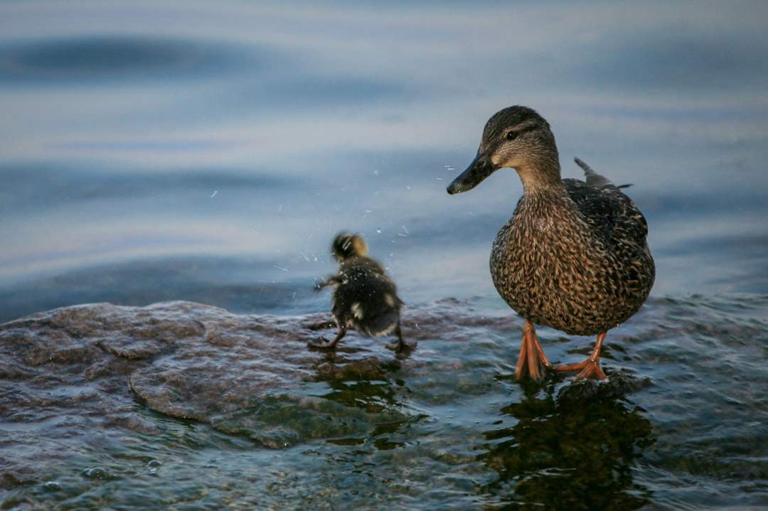 Mother duck watching baby shaking off water