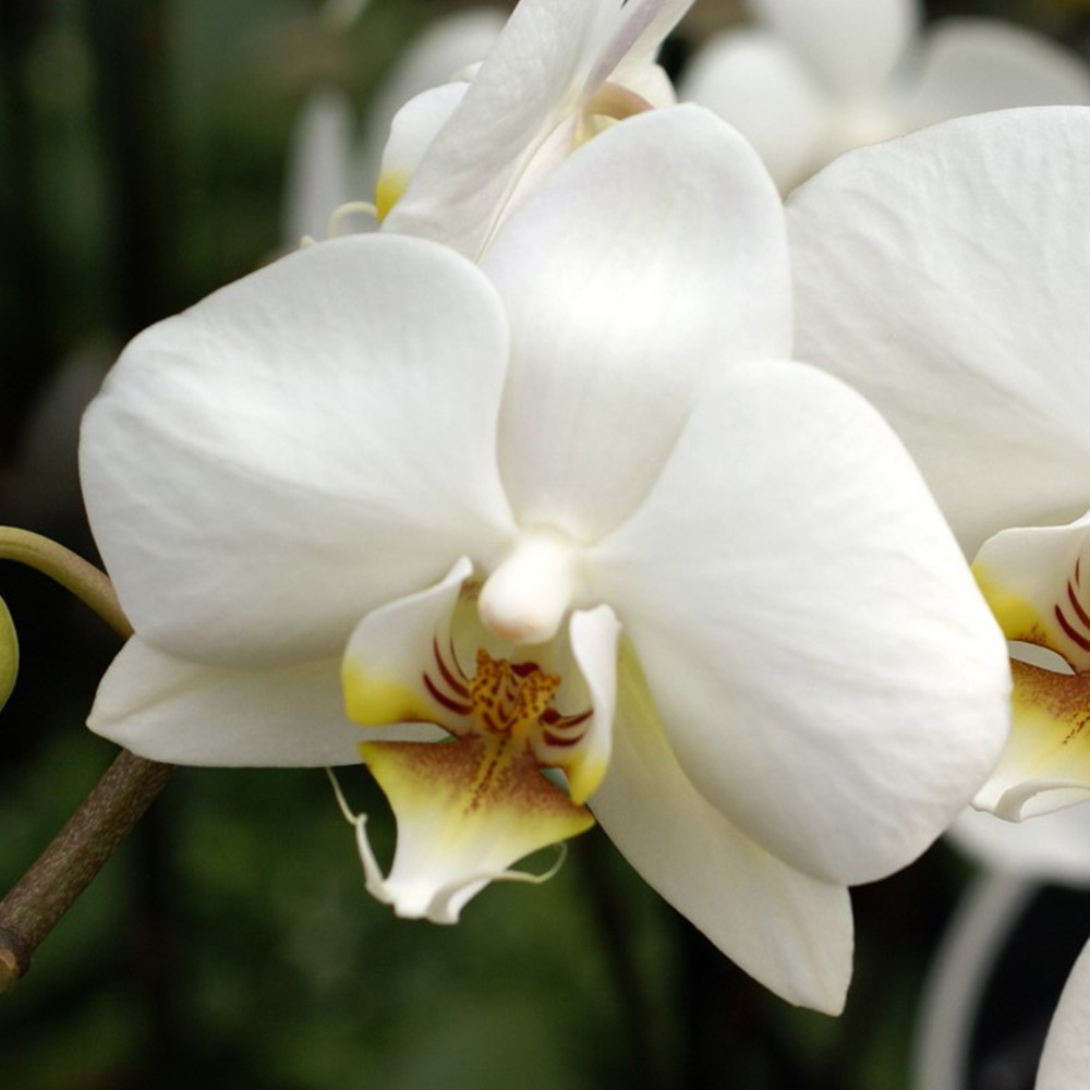 white orchids tellys greenhouse