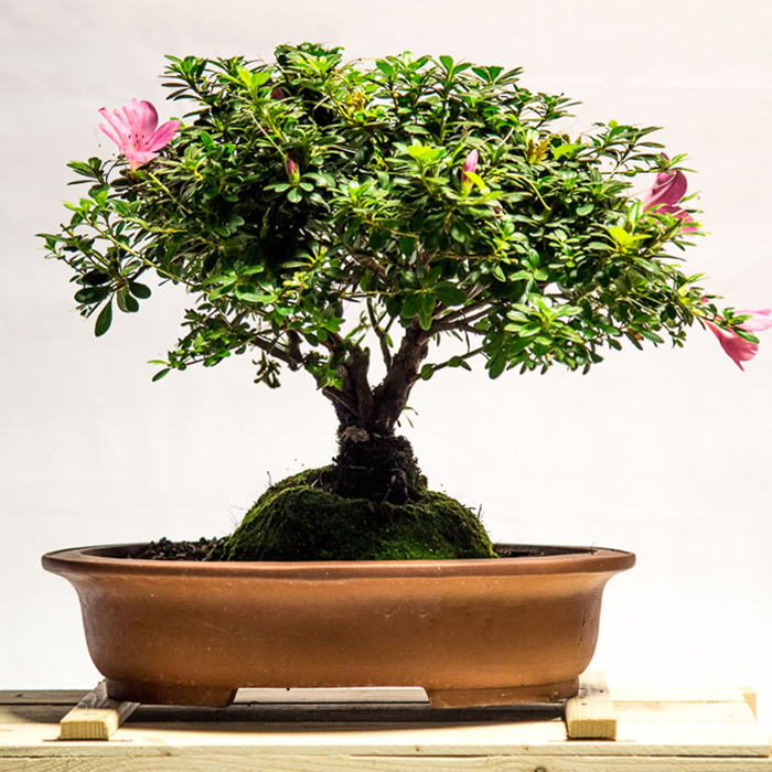 tellys bonsai bougainvilla