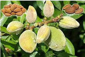 Almond Tree…బాదం చెట్లు
