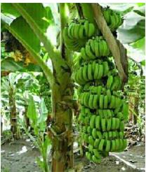 Banana Plants…అరటి మొక్కలు...