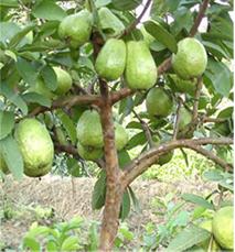Guava Trees….జామచెట్లు
