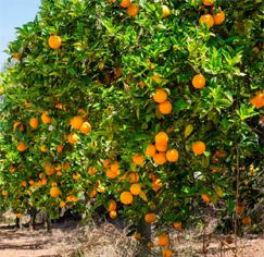 Orange Fruit Tree…కమలా పండ్ల చెట్లు..