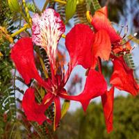 Flamboyant Flame Tree05