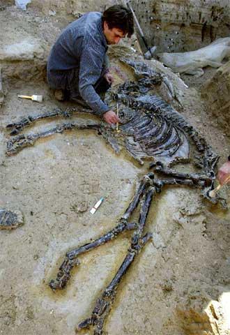 Excavació d'un bòvid