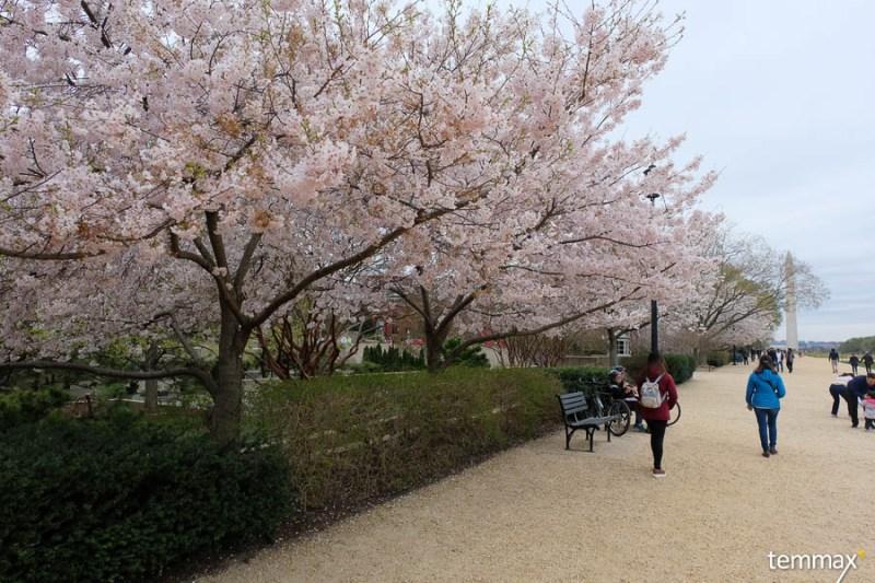 เที่ยวอเมริกา Washington DC จุดชมซากุระ Cherry Blossom ใจกลางเมืองหลวงของอเมริกา Washington Monument บ่อน้ำ Tidal Basin