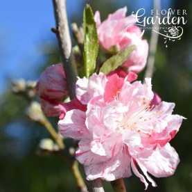 Peppermint-Peach-Blossom-on-Branch-Sq-for-Web nursery 7