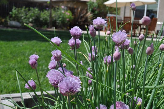 Chive Plant