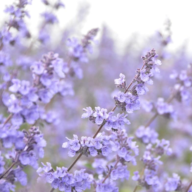 catnip flowers