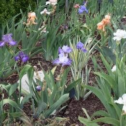 Rainbow of bearded iris