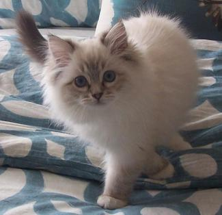 Ragdoll Kittens Colorado