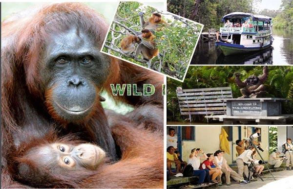 The Orangutan Of Central Kalimantan