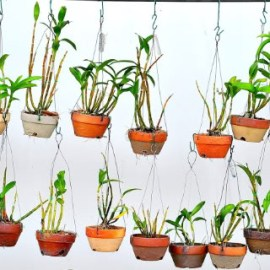 Hanging Pots Of Orchids