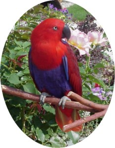 Guess Who's Talking - Eclectus