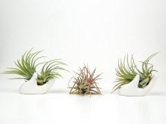 kaip auginti ir prižiūrėtiTilandsijas