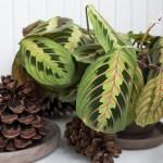 Kambarinių augalų kenkėjai. Kaip su jais kovoti ir nugalėti?