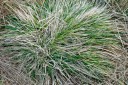 New growth coming up in ornamental grass.