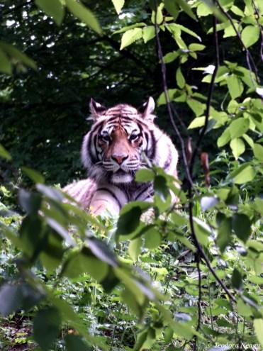 Tigrul zoo Sibiu