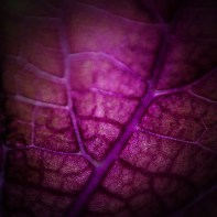 Solenostemon lamiaceae leaf